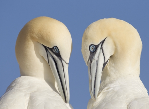 A pair of gannets close up side profiles mutual preening against blue sky - copyright peter cairns northshots 2020vision