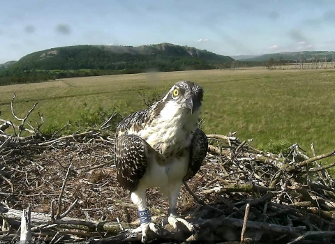 Osprey juvenile at foulshaw moss nest in 2016