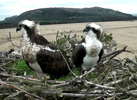 Image of the foulshaw moss breeding pair of ospreys - female on left and male on the right in 2015