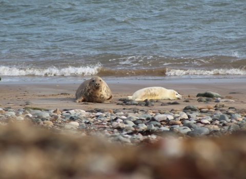 image of a grey seal with a pup at south walney - copyright sally tapp