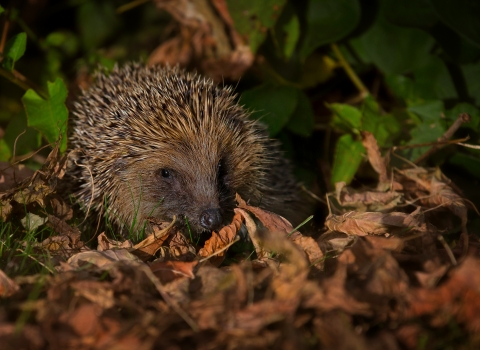 Hedgehog in autumn leaves. copyright jon hawkins - surrey hill photography