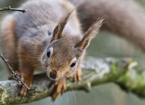 Red squirrel on a tree branch looking into camera - copyright harry hogg